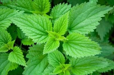 nettle-leaves